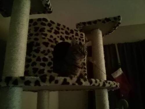 At the top of her new, 80-inch cat tree. Love my Bengal baby!